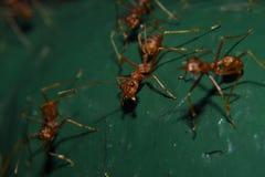 Rode mieren of vaak geroepen vaak, met zwarte ogen en klauwen roodbruin, glanzend stock foto