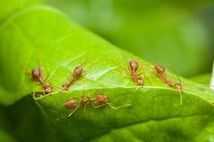 Rode mierenhulp samen om huis, groepswerkconcept te bouwen Stock Fotografie