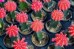 Rode minicactus Royalty-vrije Stock Afbeeldingen