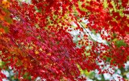 Rode momiji doorbladert Stock Afbeeldingen