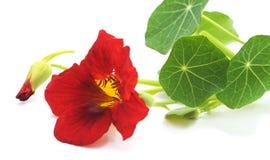 Rode mooie Oostindische kers Royalty-vrije Stock Fotografie
