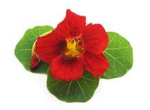 Rode mooie Oostindische kers Royalty-vrije Stock Foto's