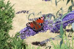Rode mot op de achtergrond van een blauwe bloem Stock Fotografie