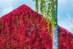Rode muur en boom stock foto