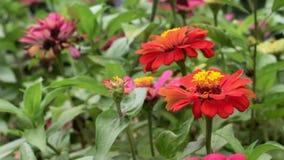 Rode narrowleaf Zinnia in de tuin stock footage