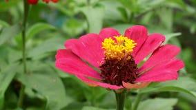 Rode narrowleaf Zinnia in de tuin stock videobeelden