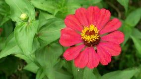 Rode narrowleaf Zinnia in de tuin stock video