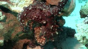 Rode Octopus onderwateroverzees stock videobeelden