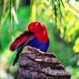 rode opgeruimde eclectuspapegaai Royalty-vrije Stock Fotografie
