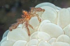 Rode orang-oetan utan krab op bellenkoraal Royalty-vrije Stock Afbeelding