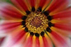 Rode/Oranje Bloem Stock Afbeelding