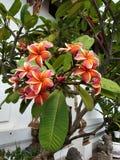 Rode oranje bloem tropische wildernis in tempel in Bangkok Thailand stock foto