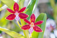 Rode oranje orchideeën, Trichoglottis Philippinensis SP Stock Afbeelding
