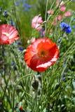 Rode Oranje Poppy Flower Blooming op Gebied Stock Afbeelding