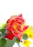 Rode, oranje rozen één Royalty-vrije Stock Afbeelding