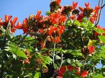 Rode Oranje Tesu-Bloem Royalty-vrije Stock Afbeelding