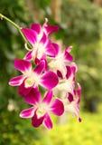 Rode orchideeën stock foto