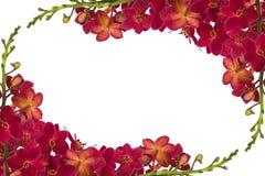 Rode orchideeën Royalty-vrije Stock Afbeeldingen