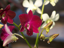 Rode Orchidee Royalty-vrije Stock Fotografie