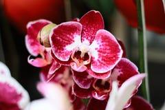 Rode Orchidee royalty-vrije stock fotografie
