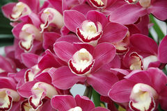 Rode Orchidee Stock Foto