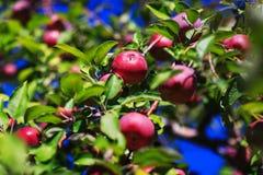 Rode organische appelen die van een boomtak hangen in een de herfstappel royalty-vrije stock afbeeldingen