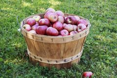 Rode Organische Appelen in een Houten Mand op een zonnige dag stock foto's