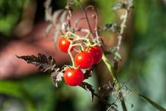 Rode organische tomaten in de tuin stock afbeeldingen