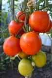 Rode organische tomatenplanten Stock Foto's