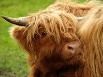 Rode os in het hoogland van Schotland Stock Fotografie