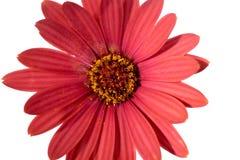 Rode Osteospermum Daisy of Kaapdaisy bloem Royalty-vrije Stock Afbeelding