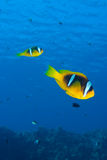Rode overzees anemonefish (amphiprionbicinctus) Royalty-vrije Stock Afbeeldingen