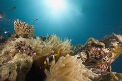 Rode overzees anemonefish (Amphipiron-bicinctus) stock fotografie