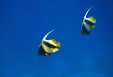 Rode overzees bannerfish Royalty-vrije Stock Afbeeldingen