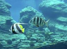 Rode Overzees bannerfish stock afbeelding