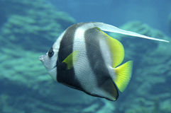 Rode Overzees bannerfish Royalty-vrije Stock Foto
