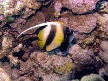 Rode Overzees Bannerfish stock afbeeldingen