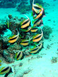 Rode Overzees Bannerfish Stock Foto