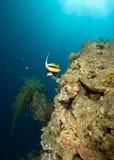 Rode overzees bannerfish (heniochusintermedius) Royalty-vrije Stock Afbeeldingen