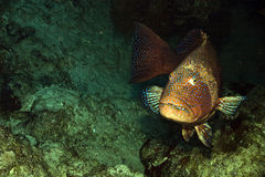 Rode overzees coralgrouper (pessuliferus Plectropomus) Stock Fotografie