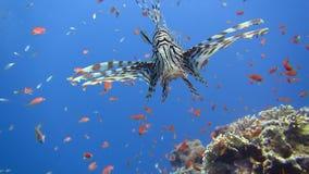Rode Overzees Mooi oceaanmilieu Vissen Onderwaterertsader stock footage