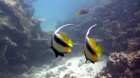 Rode Overzees Mooi oceaanmilieu Vissen Onderwaterertsader stock videobeelden