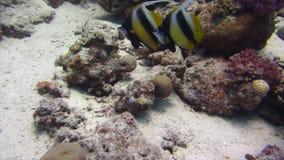 Rode Overzees Vissen en ertsader Mooi milieu stock footage