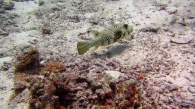 Rode Overzees Vissen en ertsader Mooi milieu stock video