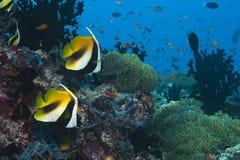 Rode Overzeese bannerfish intermedius Heniochus Royalty-vrije Stock Afbeelding