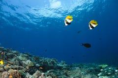 Rode Overzeese bannerfish intermedius Heniochus Stock Afbeelding