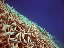 Rode overzeese koralen Stock Foto