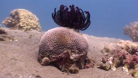 Rode overzeese lelie op koraal onderwater in oceaan van het wild Filippijnen stock videobeelden