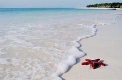 Rode overzeese ster op het Eiland van Zanzibar Stock Afbeeldingen