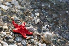 Rode Overzeese ster, steenstrand, schone waterachtergrond Stock Foto